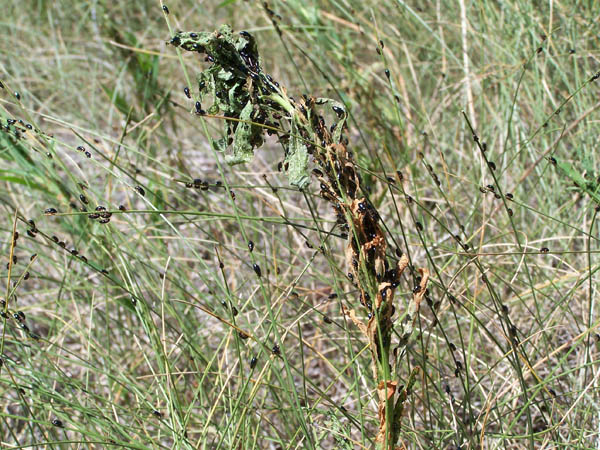 dead spurge with flea beetles