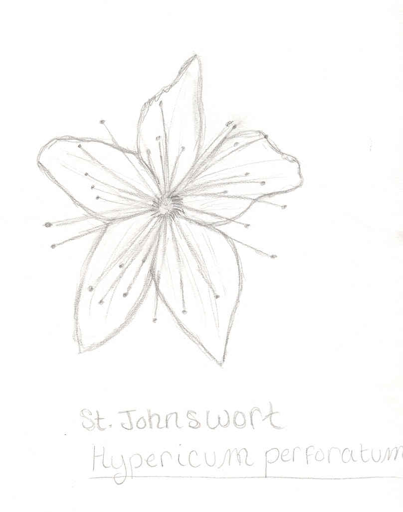 st_johnswort