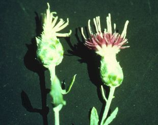 Photo from slide show: Biological Control of Noxious Weeds, by Reeves Petrof.