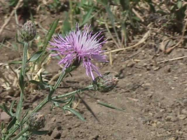 Spotted Knapweed Flower and Buds