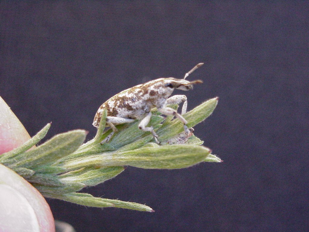 knapweed root boring weevil